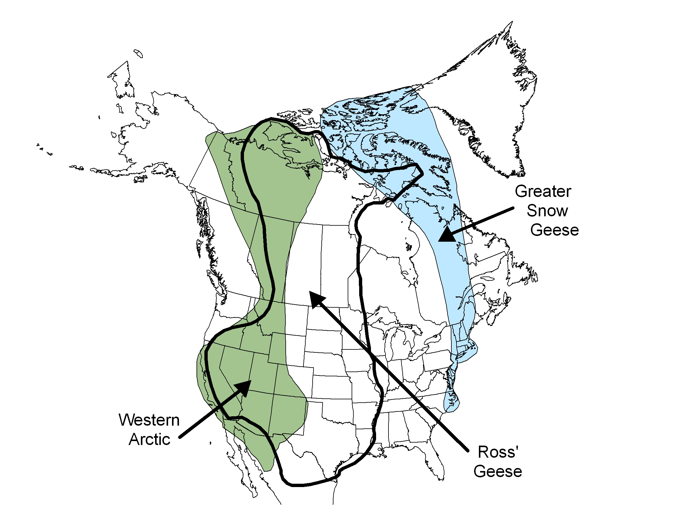 What's changing how snow geese migrate? – Stories from ... on geese locked up, tundra swan range map, geese in flight, pileated woodpecker range map, mexican duck range map, snow goose range map, manta ray lives map, snow goose habitat map, geese as pets, geese flying in v-shape, barnacle goose range map, waterfowl flyway map, geese nesting, geese flying north,