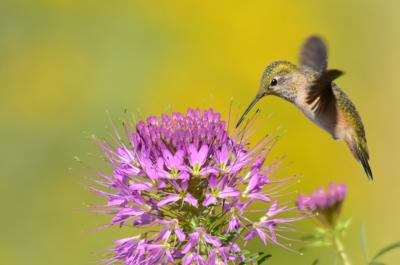 hummingbirdcrop