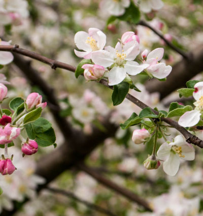 apple-blossom-cropped